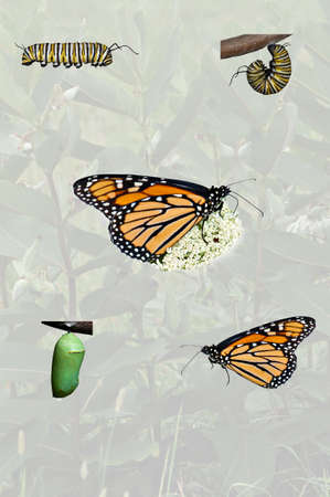 compilation: A simple compilation of the monarch butterfly life cycle from caterpillar thru adult with opaque background. Stock Photo