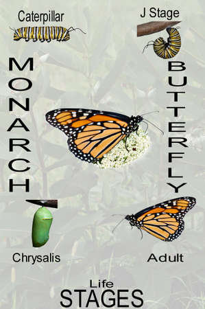 A simple compilation of the monarch butterfly life cycle from caterpillar thru adult with opaque background with identifying text.
