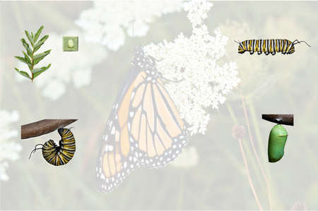A simple compilation of the monarch butterfly life cycle from caterpillar thru adult with opaque background. Stock Photo