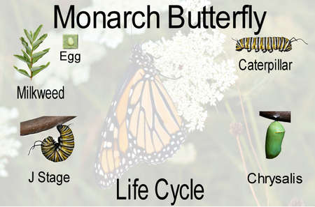 monarch butterfly: A compilation of the monarch butterfly life cycle from egg thru adult with opaque background with identifying text added. Stock Photo