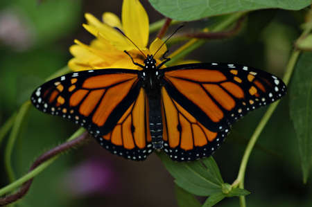 A beautiful adult monarch butterfly fanning its wings on a yellow flower. Stock Photo