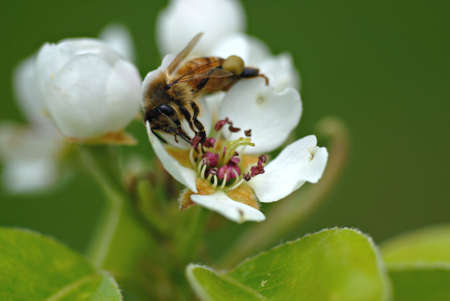 A small bee crawls around inside a pear blossom searching for food.