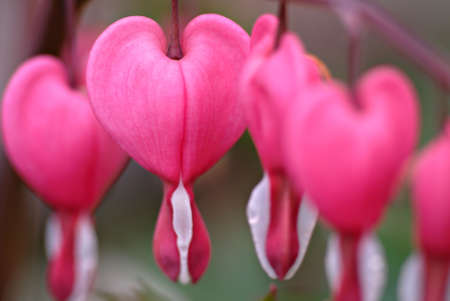 Beautiful pink & white bleeding heart flowers hanging daintly from the branch. Macro. Stock Photo