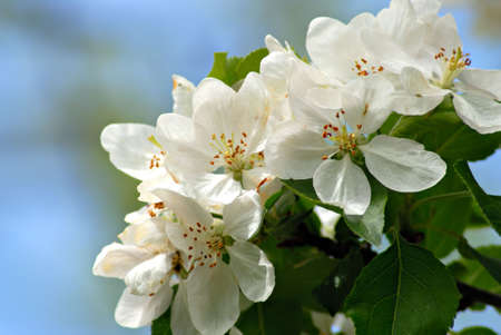 stamin: Beautiful apple blossoms in front of a bright blue spring sky. Stock Photo