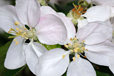 stamin: Macro of the stamin & petals of apple blossoms. I love the detail in this shot!