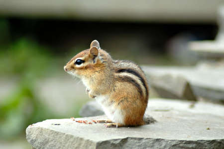 A cute little chipmunk sits on a rock wall, sunning himself.
