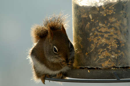 A hungry red squirrel stops by the bird feeder early one morning for breakfast.