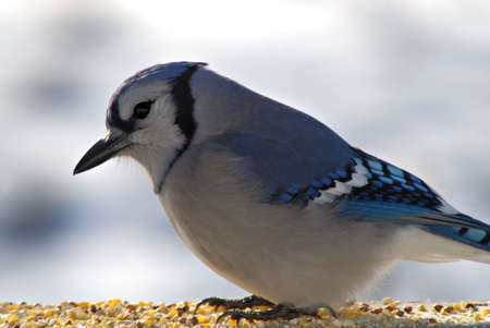 A beautiful blue jay sits for his portrait photo