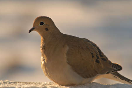 warms: A morning dove warms up in the early morning light.