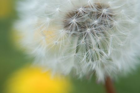 tuft: Dandelion Tuft Stock Photo