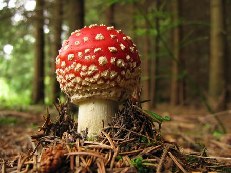 young toadstool in the forest photo