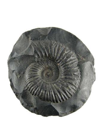petrified fossil: Fossilized ammonite shell, saligram stone