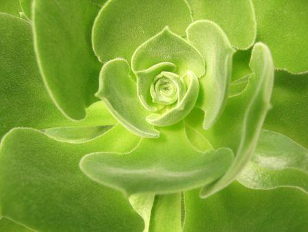 webb: Aeonium virgineum Webb - succulent Stock Photo