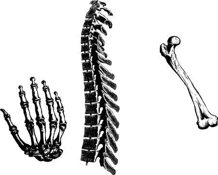 human bones: Human Bones