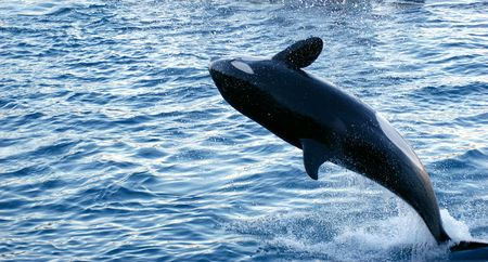 Jump of Orca  Stock Photo