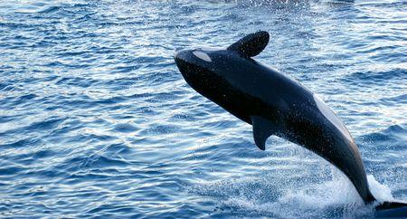 mammalian: Jump of Orca  Stock Photo