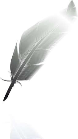 cisnes: Una pluma de ave aislada en fondo blanco Foto de archivo