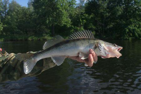 boca abierta: walleye con una gran boca abierta en la mano del pescador Foto de archivo