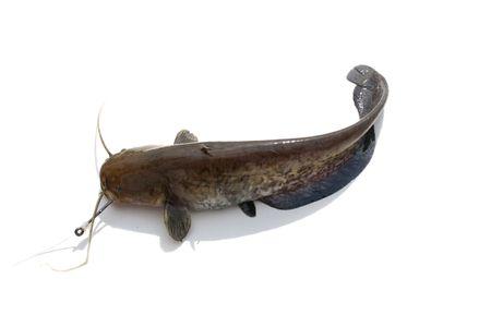 sheatfish: El siluro en fondo blanco