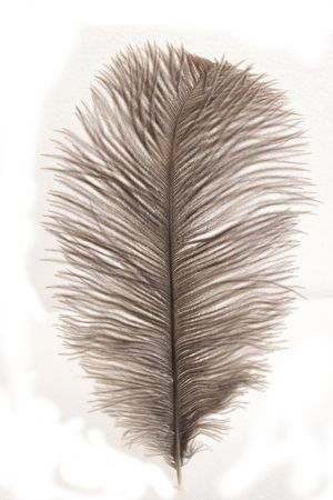 airy texture: Ostrich feather isolated on white bcakground