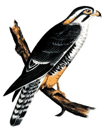 buzzard: Buzzard Illustration on a branch.