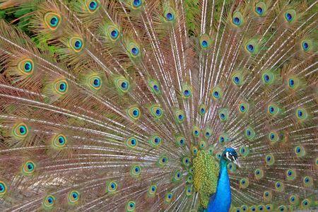 A beautiful peacock. photo