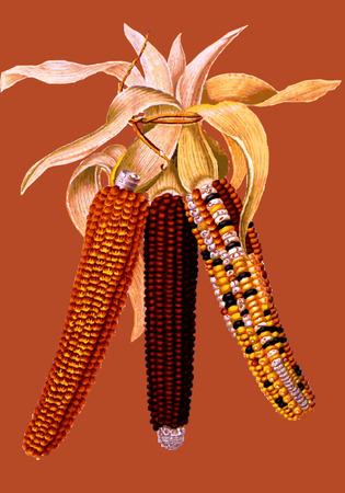 husk:  Autumn harvested corn. Illustration