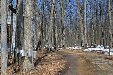 Spring, maple syrup season.  Stock Photo