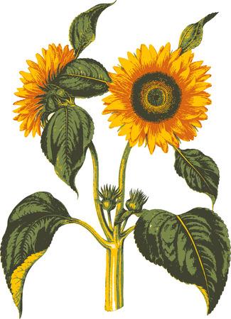 sunflower isolated: Girasole isolati. Vettoriali