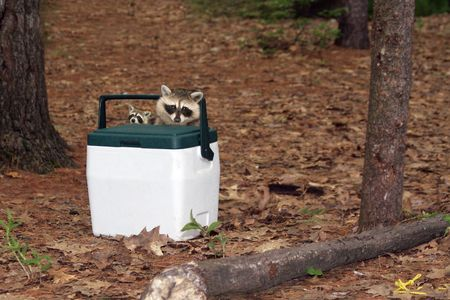 racoon: Racoon and baby.