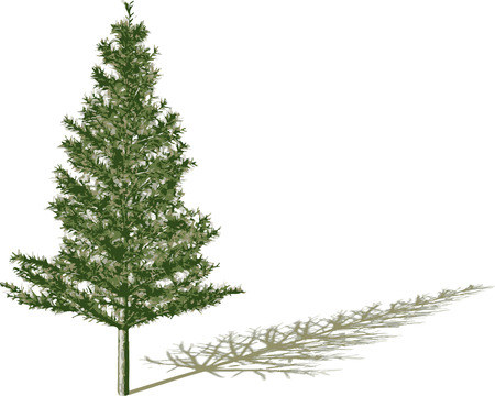 tree isolated: Fir with shadow.