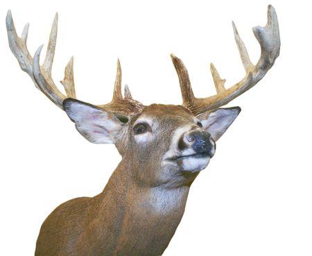 rut: Elk on white background. Stock Photo