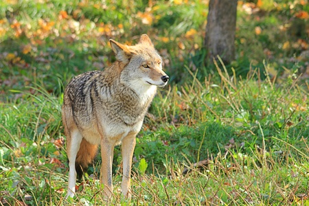A coyote: the cunning howler. To hear his nocturnal yelp ia a memorable experience.