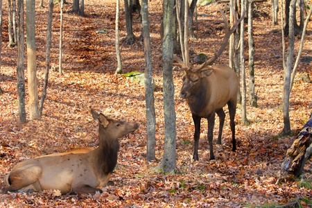 A couple of red deers during rutting season. Stock Photo - 8753708