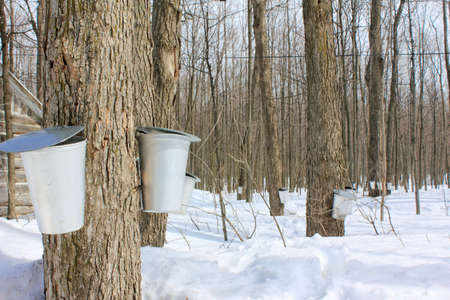 syrup: Maple Sap Buckets in Spring