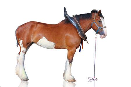 Cavallo Clydesdale isolato su sfondo bianco.