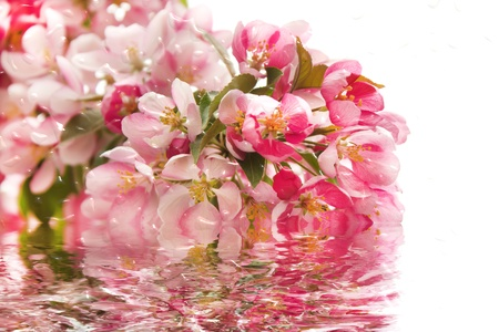 reflect: Pink cherry blossoms for spring with water reflect.