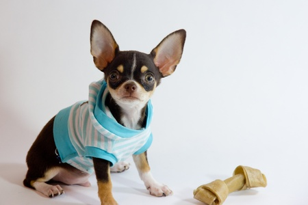 Chihuahua fashion Stock Photo - 15335665