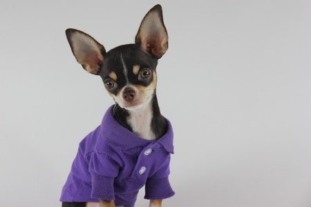 Chihuahua fashion photo