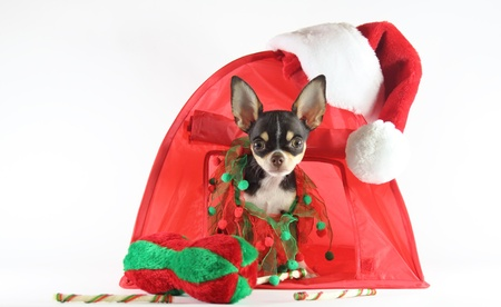 Chihuahua in Christmas niche  photo
