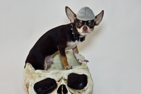 Halloween chihuahua  photo