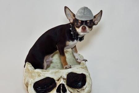 amity: Halloween chihuahua