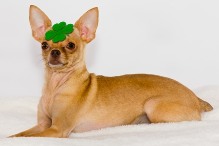 st  patrick s day: Chihuahua with green  clover on head. Stock Photo