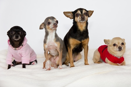 Group of cute chihuahuas. photo