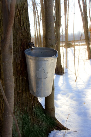 A maple tree has been tapped in spring to get sap for making maple syrup  photo