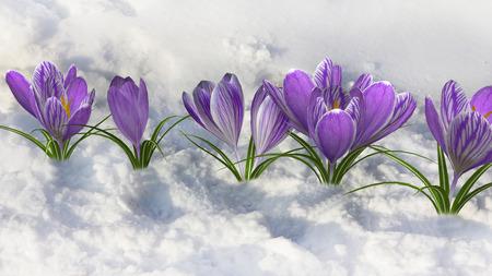 early spring snow: Spring crocus.