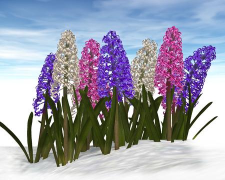 hyacinths: spring hyacinths