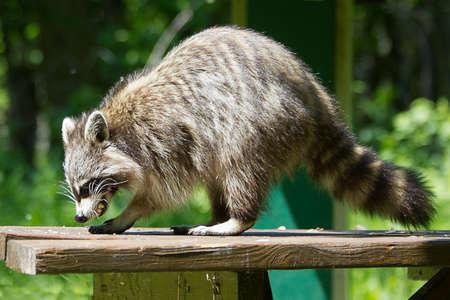 racoon: Wild racoon.