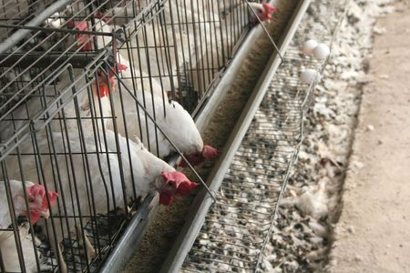 chicken cage: Caged chickens at an egg farm crammed together eating and laying eggs