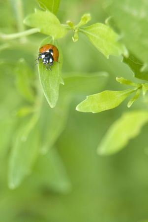 coccinellidae: spotted beetle ladybug on plant